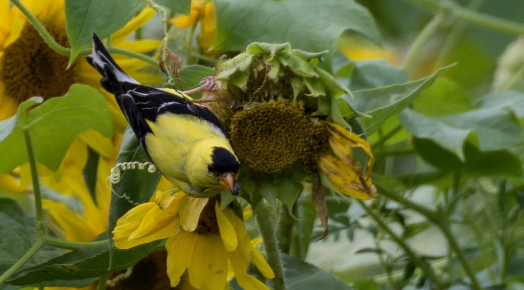Goldfinch In Sunflower Field Connecticut