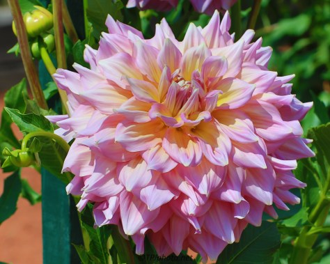 Connecticut Dahlias - Click To Enlarge