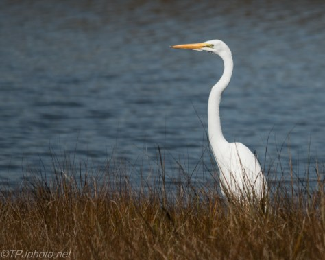 Connecticut Great White Egret - Click To Enlarge