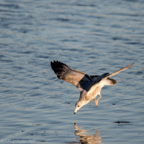 Diving Gull Olympic Style - Click To Enlarge