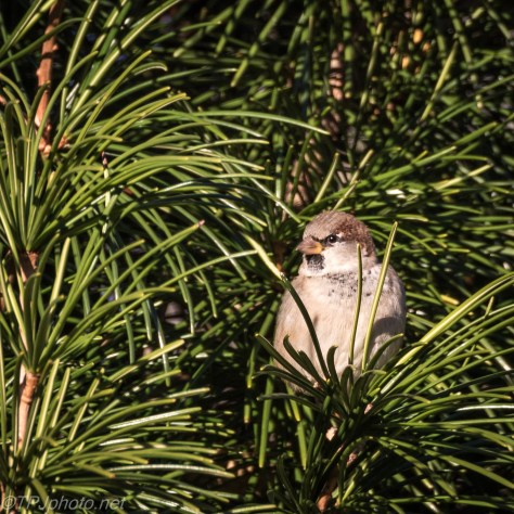 House Sparrow In Pine Tree - Click To Enlarge