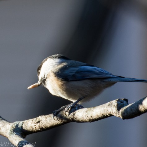 Chickadee - Click To Enlarge