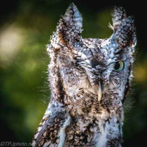 Grey Screech Owl - Click To Enlarge