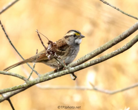 White-throated Sparrow - Click To Enlarge