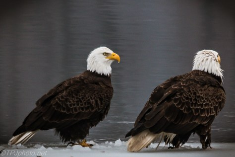 Bald Eagles In The Snow - Click To Enlarge