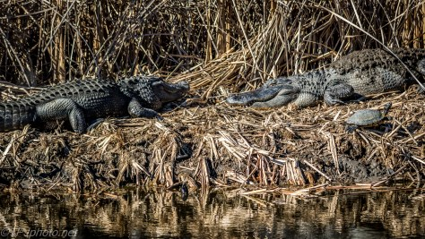 Alligator Clan Gathering - Click To Enlarge