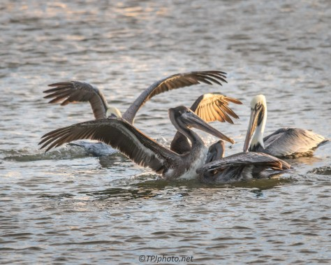 Brown Pelican Group Hug - Click To Enlarge
