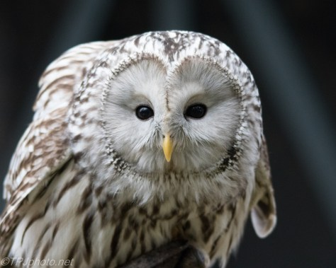 Owl Close Up - Click To Enlarge