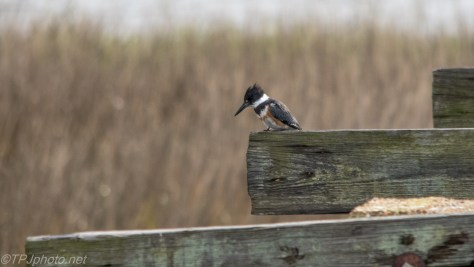Kingfisher On Old Bridge - Click To Enlarge