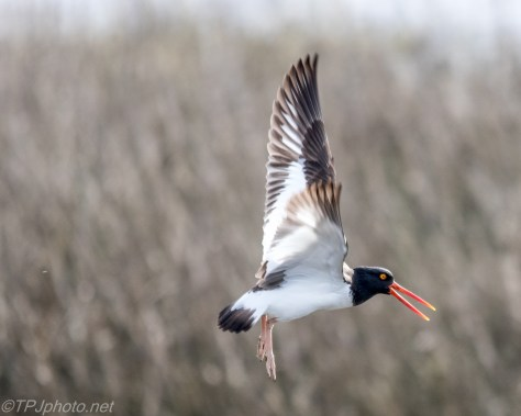 Oyster Catcher - Click To Enlarge