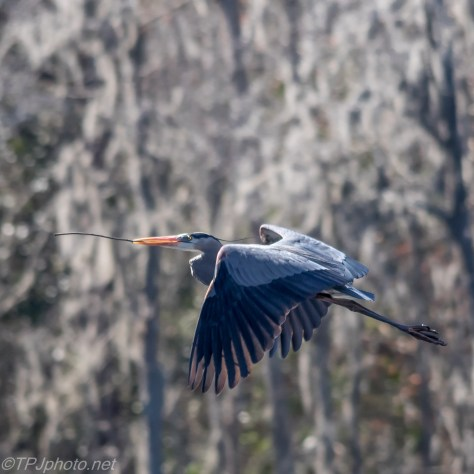 Flying Great Blue Heron - Click To Enlarge