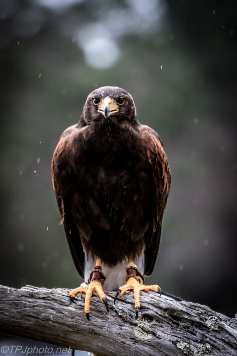 Harris Hawk In The Rain - Click To Enlarge