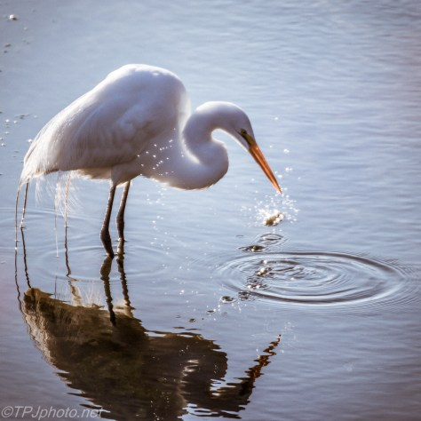 Oops Egret Drops Fish - Click To Enlarge