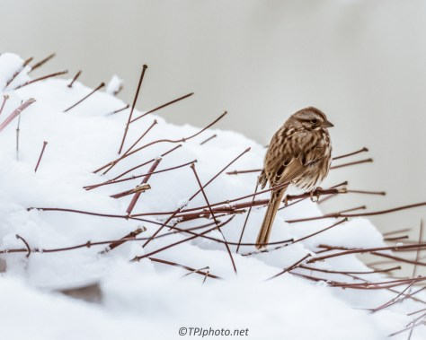 Sparrow In Snow - Click To Enlarge