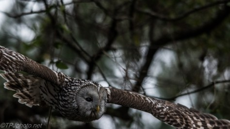 Owl In Flight - Click To Enlarge