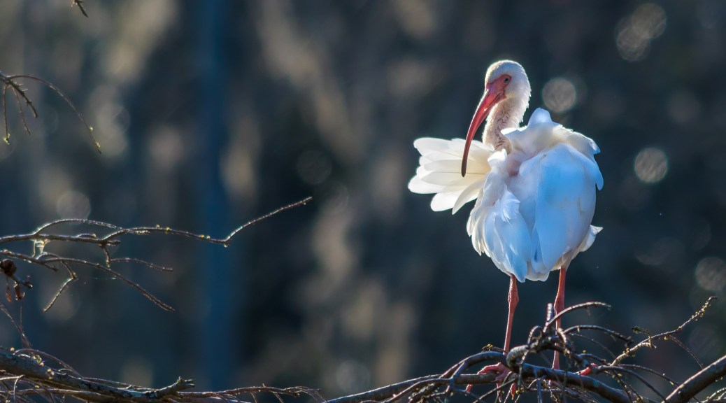 Early Ibis - Click To Enlarge
