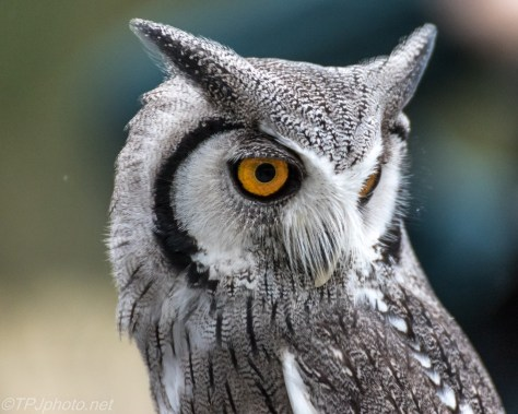 White Faced Scops Owl - Click To Enlarge