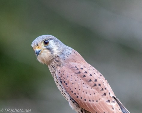 Kestrel Portrait - Click To Enlarge