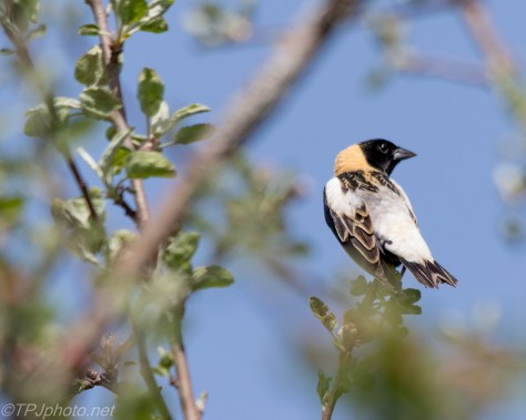 Bobolink - Click To Enlarge