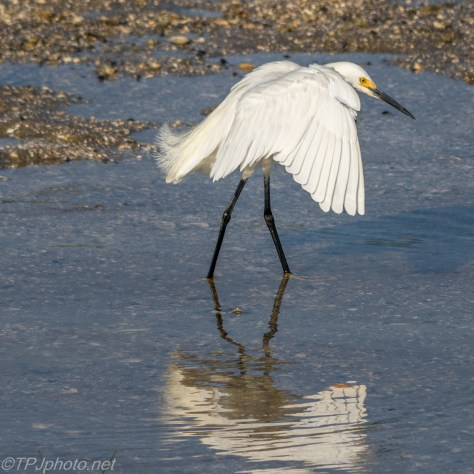 Snowy Egret Dancing - Click To Enlarge