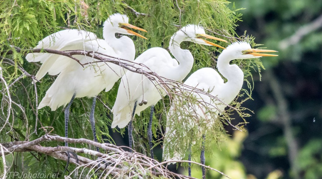 Baby Great Egrets - Click To Enlarge