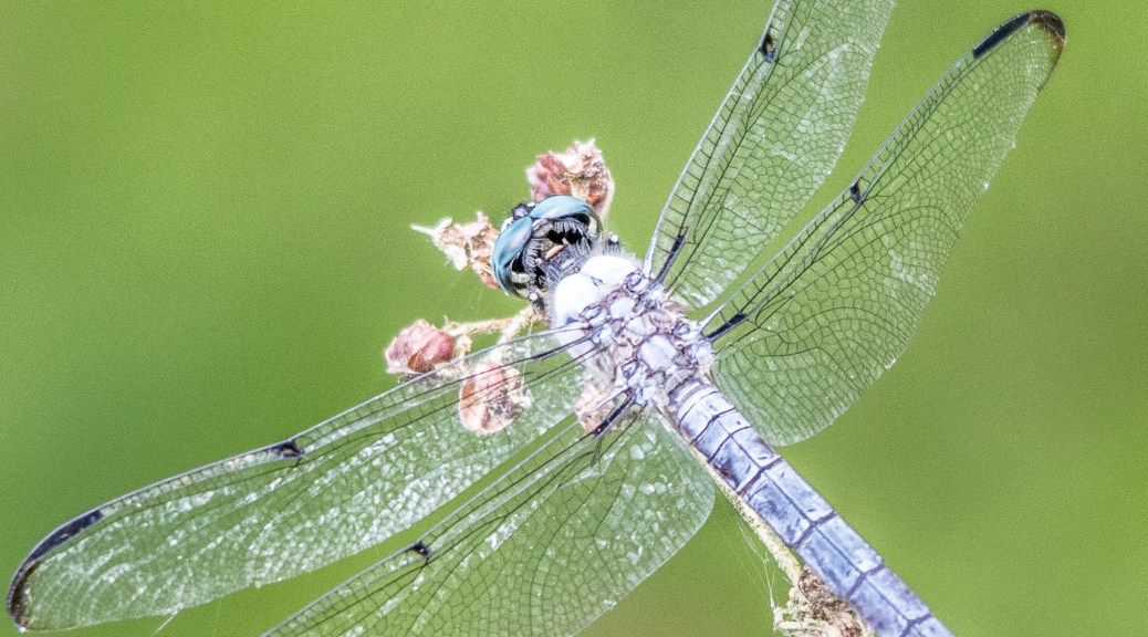 Dragon Fly, I Think - Click To Enlarge
