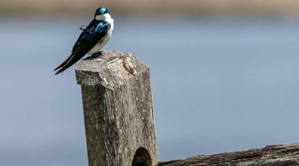 Tree Swallow On A Fence - Click To Enlarge
