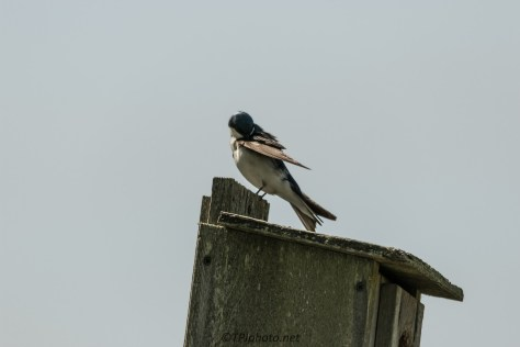 Tree Swallow - Click To Enlarge