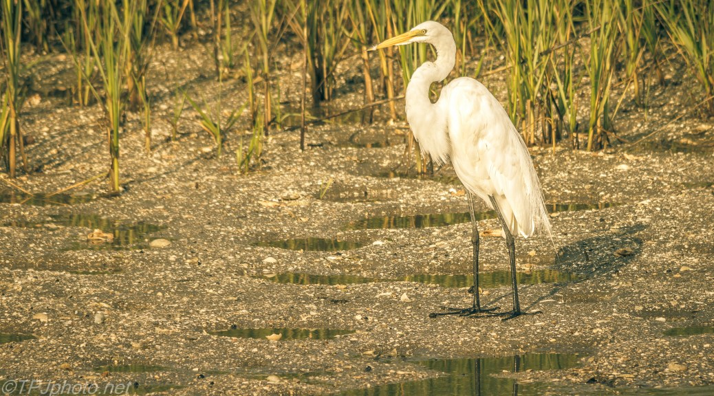 Egret In Afternoon Light And Shadows - Click To Enlarge