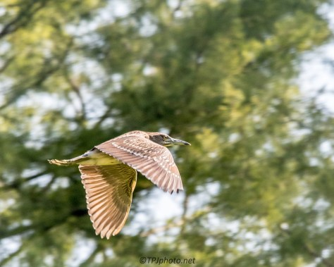 Flying Juvenile Night Heron - Click To Enlarge