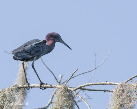 Little Blue Heron - Click To Enlarge
