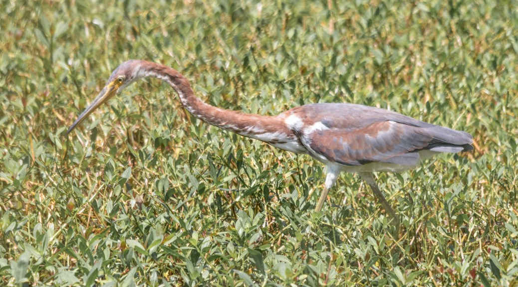 Juvenile Tricolored Heron - Click To Enlarge