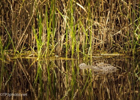 Alligator Hiding - Click To Enlarge