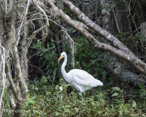 Great Egret On A Swamp Bank - Click To Enlarge