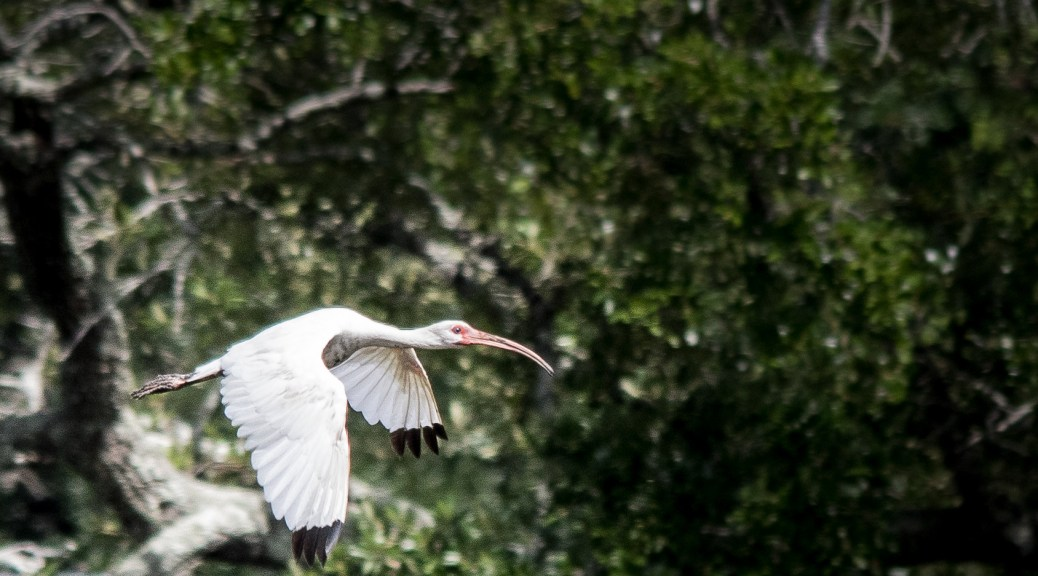 Fast White Ibis - Click To Enlarge