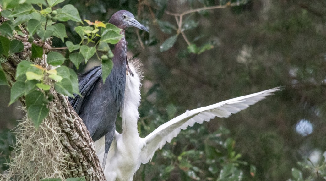 Adult And Juvenile Little Blue Heron - Click To Enlarge