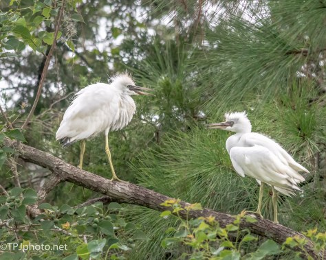 Young Little Blue Herons - Click To Enlarge