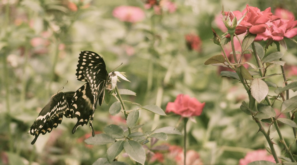 2 Swallowtails Same Flower - Click To Enlarge