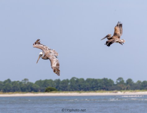Pelicans Searching The Shore - Click To Enlarge