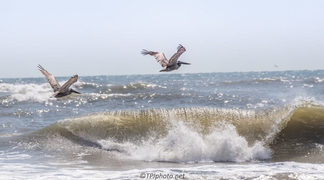 Brown Pelicans - Click To Enlarge