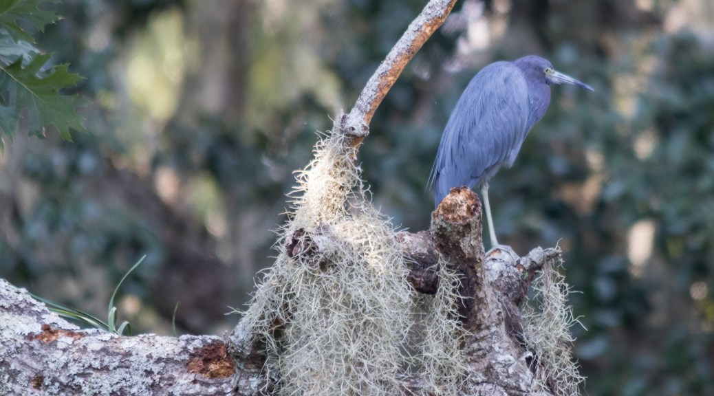 Little Blue On Spanish Moss - Click To Enlarge