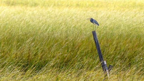 Tricolor Heron In A Marsh - Click To Enlarge