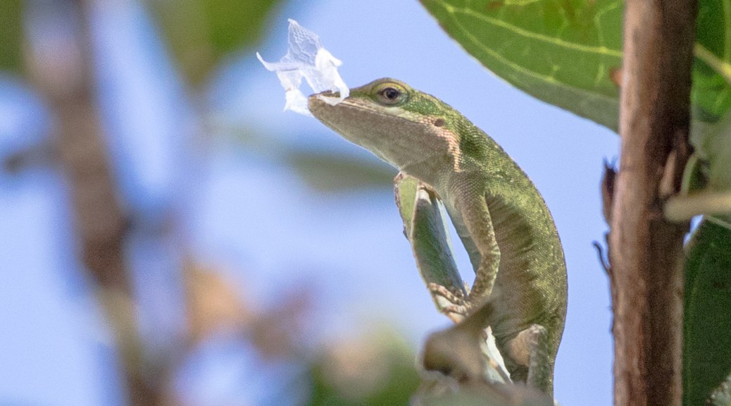 Anole - Click To Enlarge