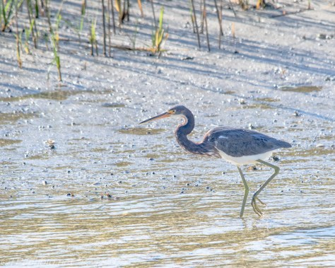 Tricolored Heron On The Shore - Click To Enlarge