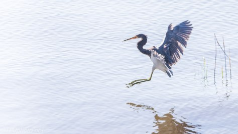 Tricolored Heron Landing In The Water - Click To Enlarge