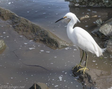 Snowy Egret in The Jetty - Click To Enlarge