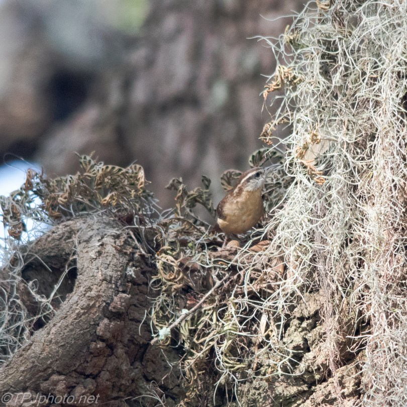 Carolina Wren In The Spanish Moss - Click To Enlarge