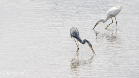 Tricolor Heron And Snowy Egret - Click To Enlarge