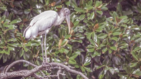 Wood Stork - Click To Enlarge