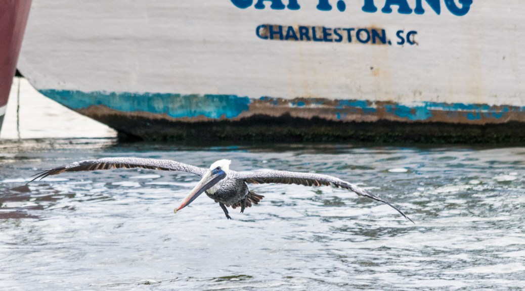 Pelican Touch Down - Click To Enlarge